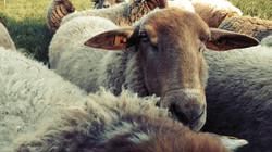 Communtiy Supported Schafhaltung verbindet Menschen und Tiere