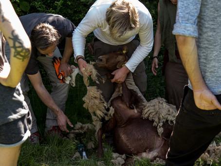 Finale! Grundkurs Schafhaltung
