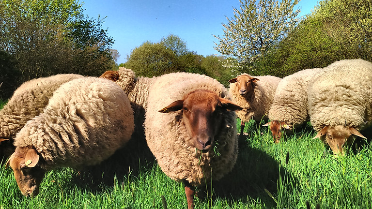 Vom Schaf zum Garn - Teil 1