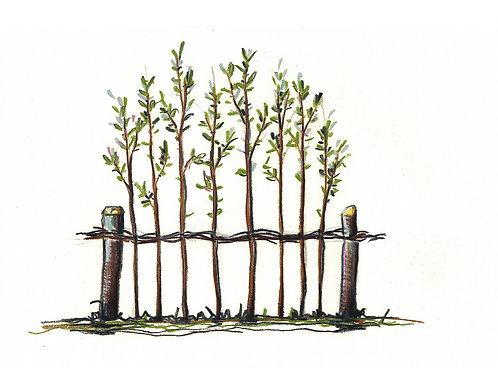 DIY - Weidenruten für das Stecken eines Zaunes, senkrecht (Preis pro lfm)