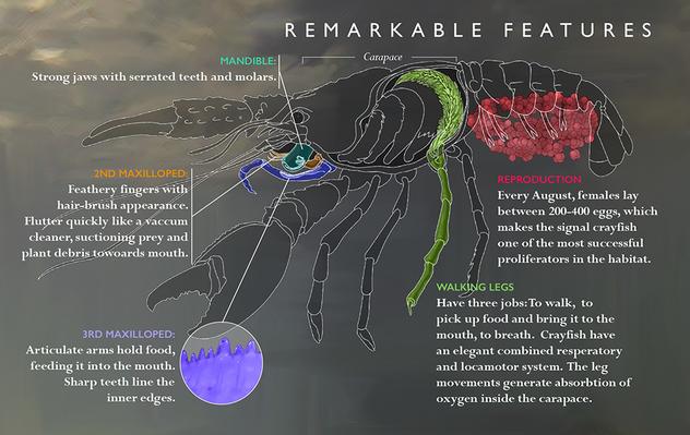 CrayfishSchematicZoom.png