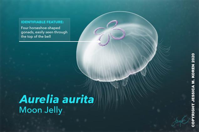 AureliaAurita.jpg