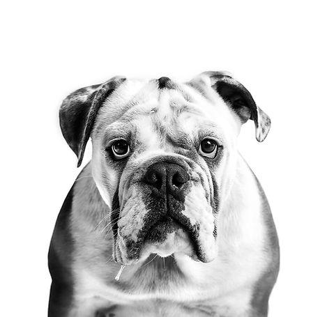 English bulldog Walter