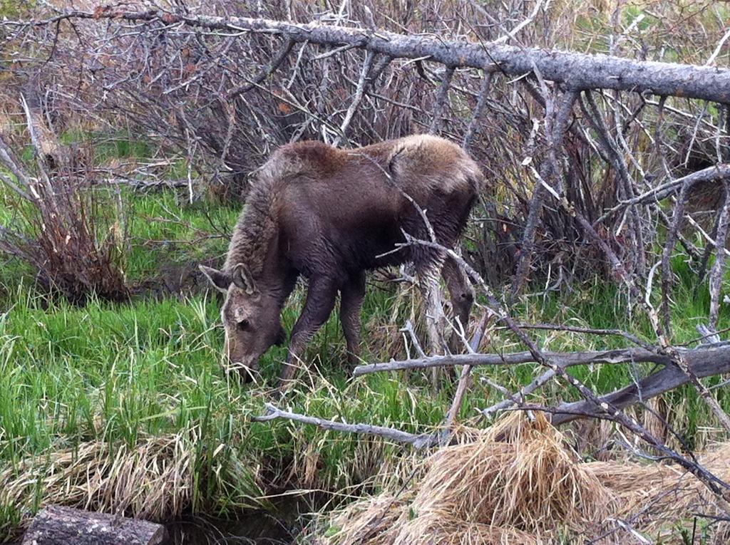Baby-Moose