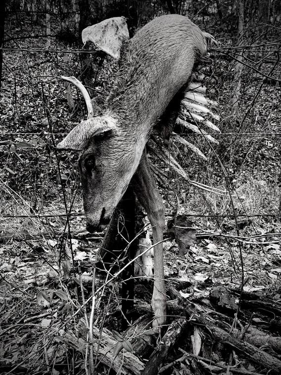 deerdrape.jpg