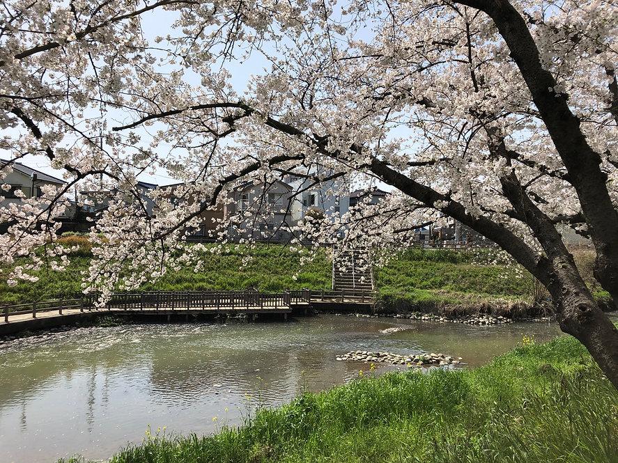 ホーム前 川桜.jpg