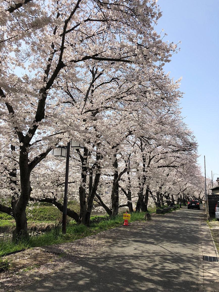 ホーム前 道路桜.jpg