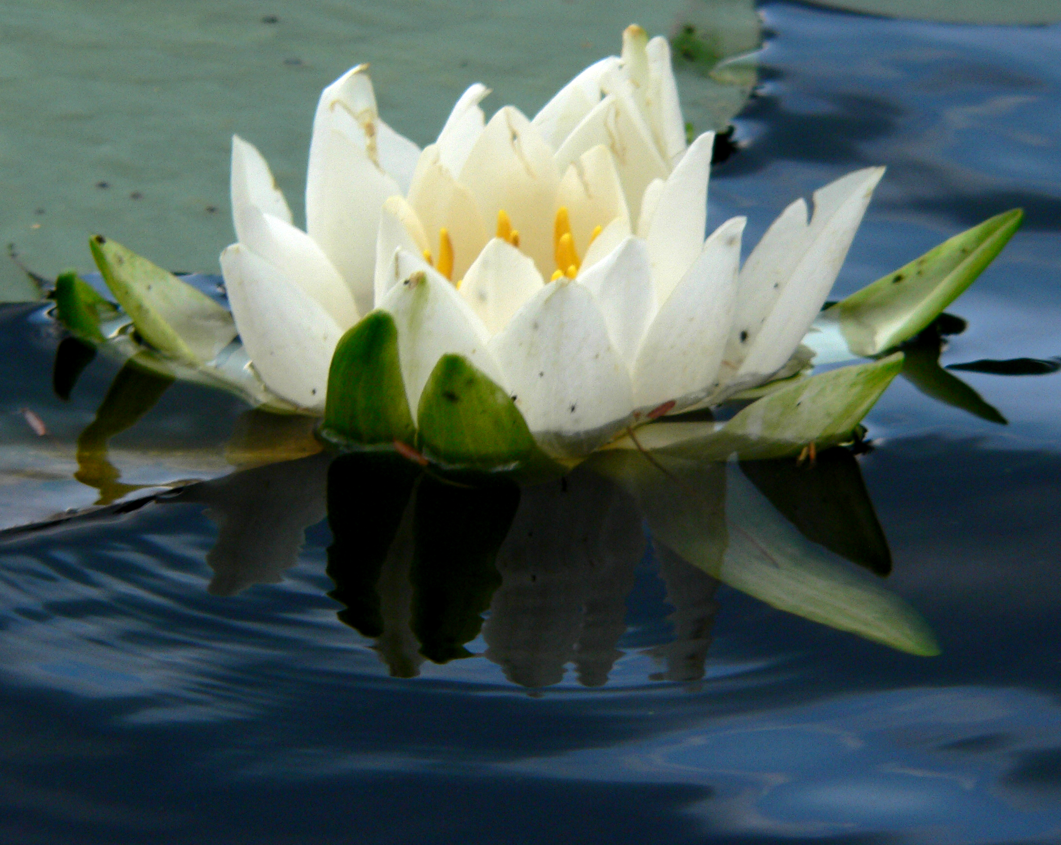 lotus833.jpg