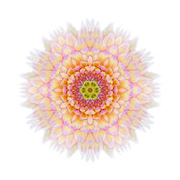 Pink Concentric Chrysanthemum Flower Iso