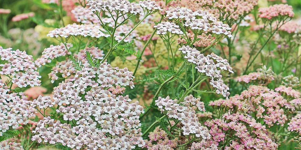 Plantes sauvages comestibles (Lignan-de-Bordeaux 33)