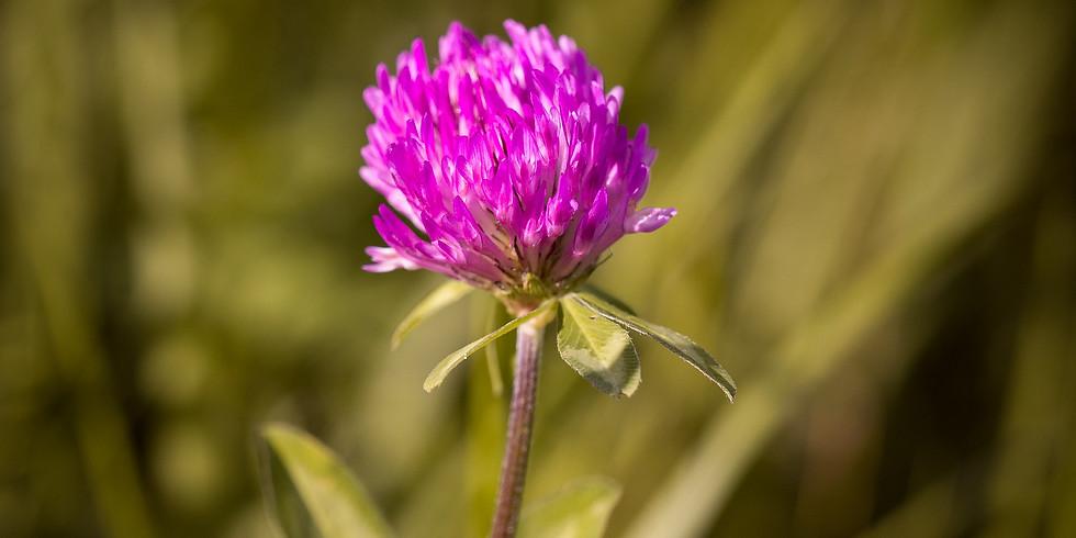 Plantes sauvages comestibles (La Sauve-Majeur 33)