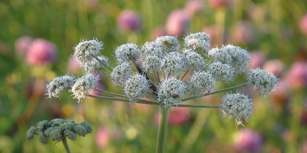 Plantes sauvages Médicinales (La Sauve-Majeur 33)