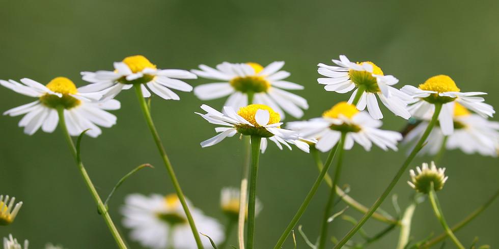 Sortie plantes Sauvages Comestibles (Cénac 33)