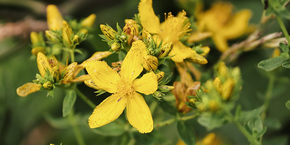 Sortie Plantes Sauvages Médicinales (Lignan de Bordeaux 33)