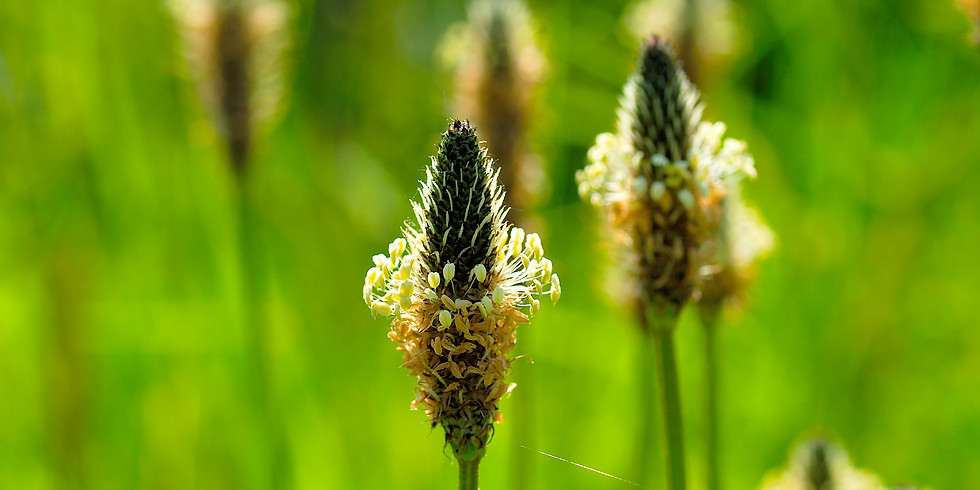 Plantes sauvages Comestibles (Sadirac 33)