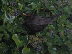 'Blackbird and Ivy'.