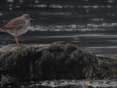 'Redshank -Pibydd Coesgoch'