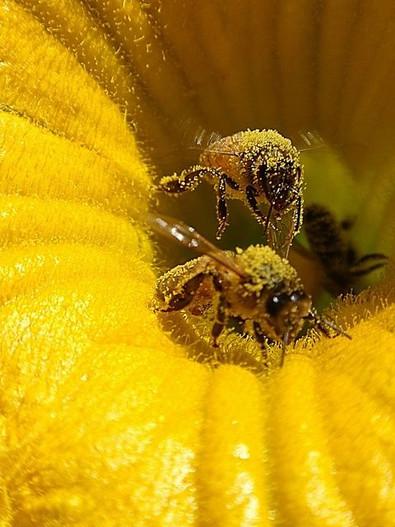 Pollen Bees.jpg