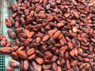 日本でベトナムのカカオ豆の販売をします!
