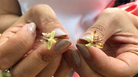 カカオの花 受粉から結実まで