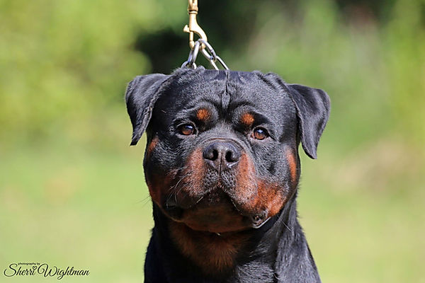Amboss vom Kummelsee available Rottweiler Stud Perth
