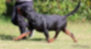 Amboss vom kummelsee, available Rottweiler stud Perth