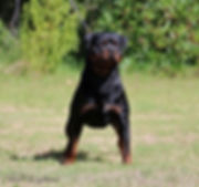 Amboss vom Kummelsee (Import Germany) Available Rottweiler Stud Dog Perth