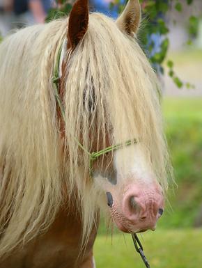 Barry, cheval Gypsy Cob,  Irish Cob, abondance de crins, fanons, moustache, gipsy cob, de l'os, magnifique double croupe, caractère en or, hongre, calme et générosité avec les Enfants, L'Orée des Gypsy en Ariège