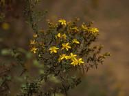 Flores del Estrecho.JPG