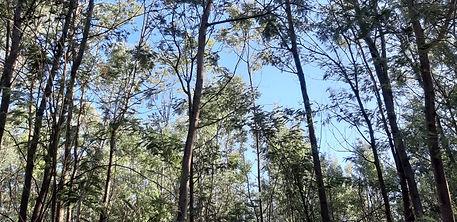 Acacia dealbata (9).jpg