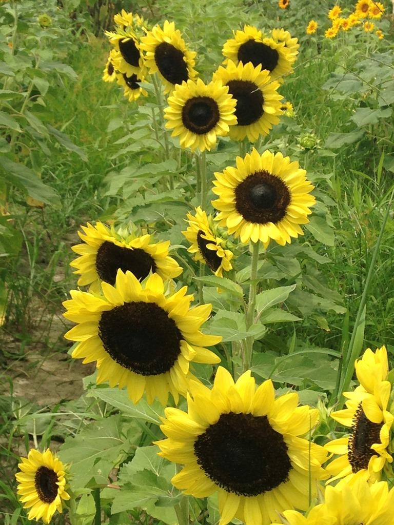 Sunflowers - Lemon