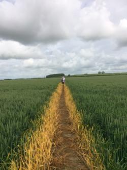 Across the wheat field