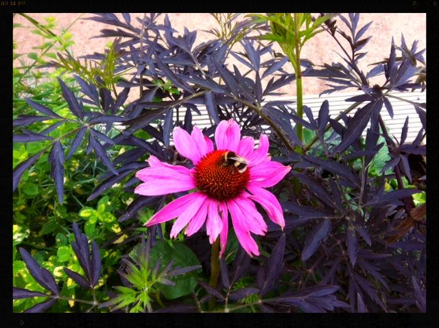 Bees love Echinacea..