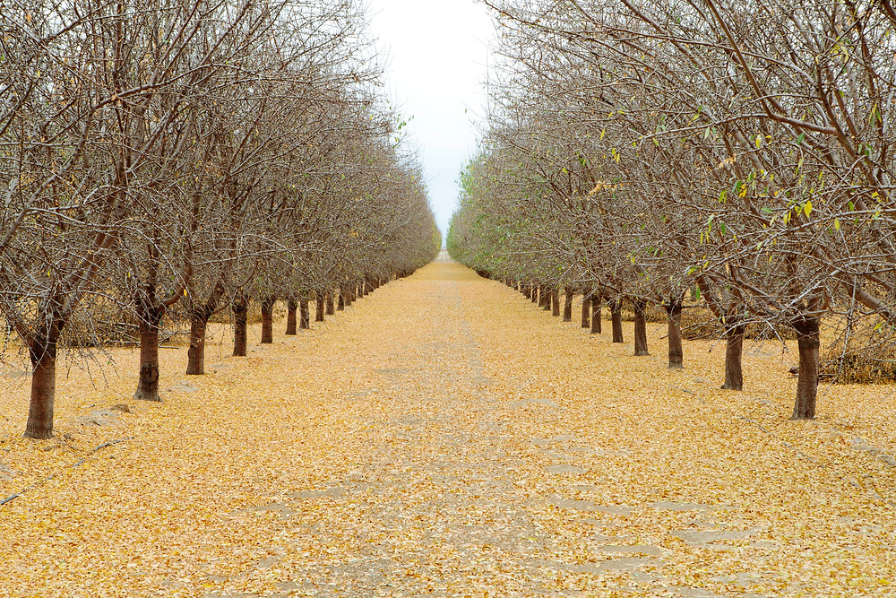San Joaquin Valley agriculture | Rows of pistachio trees in Bakersfield, CA