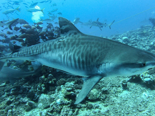 10 incredible places to swim with sharks