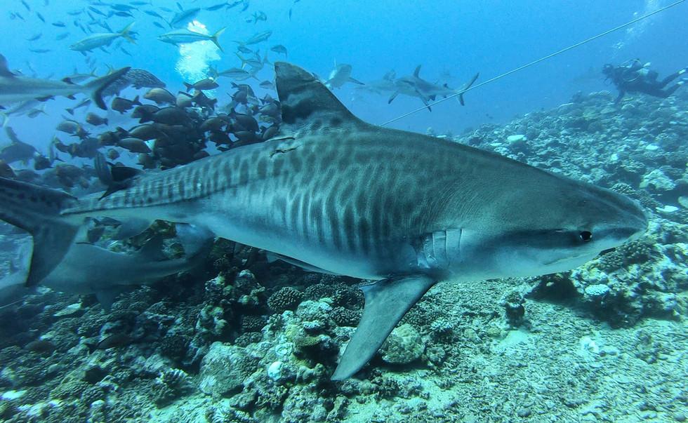 Tiger Shark Dive Tahiti