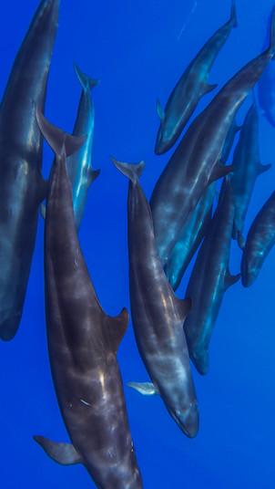 False killer whales, Revillagigedo Islands
