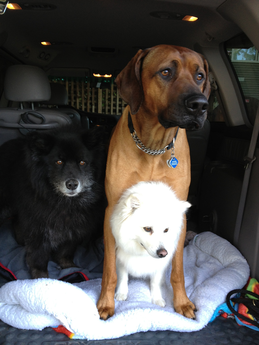 Asking the dogs to wait in the car until they give eye contact.
