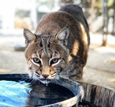 zoo bobcat.jpg