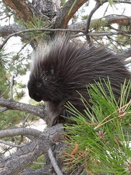 zoo porcupine na.jpg
