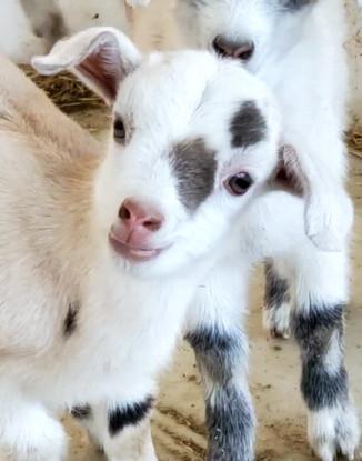 Goat Kids Feb 26 2021_edited.jpg
