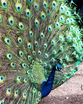 zoo peacock.jpg