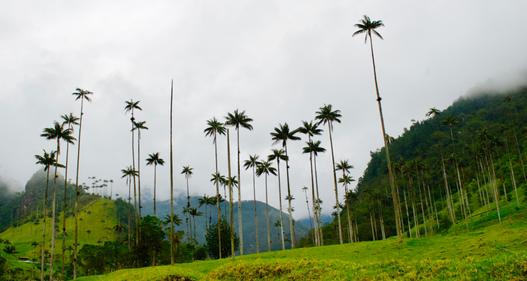 Cocora ieleja.PNG
