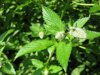 Peppermint Essential Oil -- The Unsung Hero of Sinus Support, Athletics, and Focus