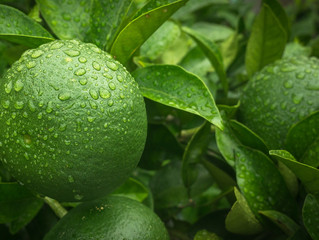 Get to Know Green Mandarin Essential Oil