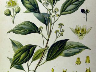 Ravintsara (Cinnamomum camphora) to the Rescue