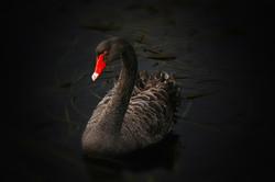 The Black Swan - Cygnus Atratus