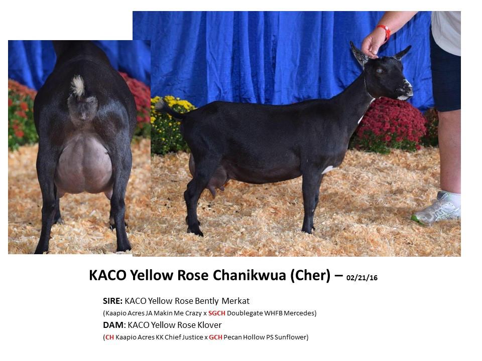 KACO Yellow Rose Chanikwua.jpg