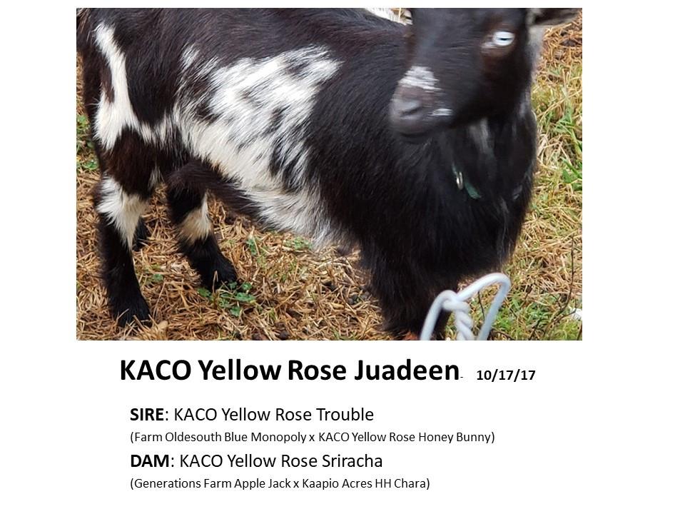 KACO Yellow Rose Juadeen.jpg
