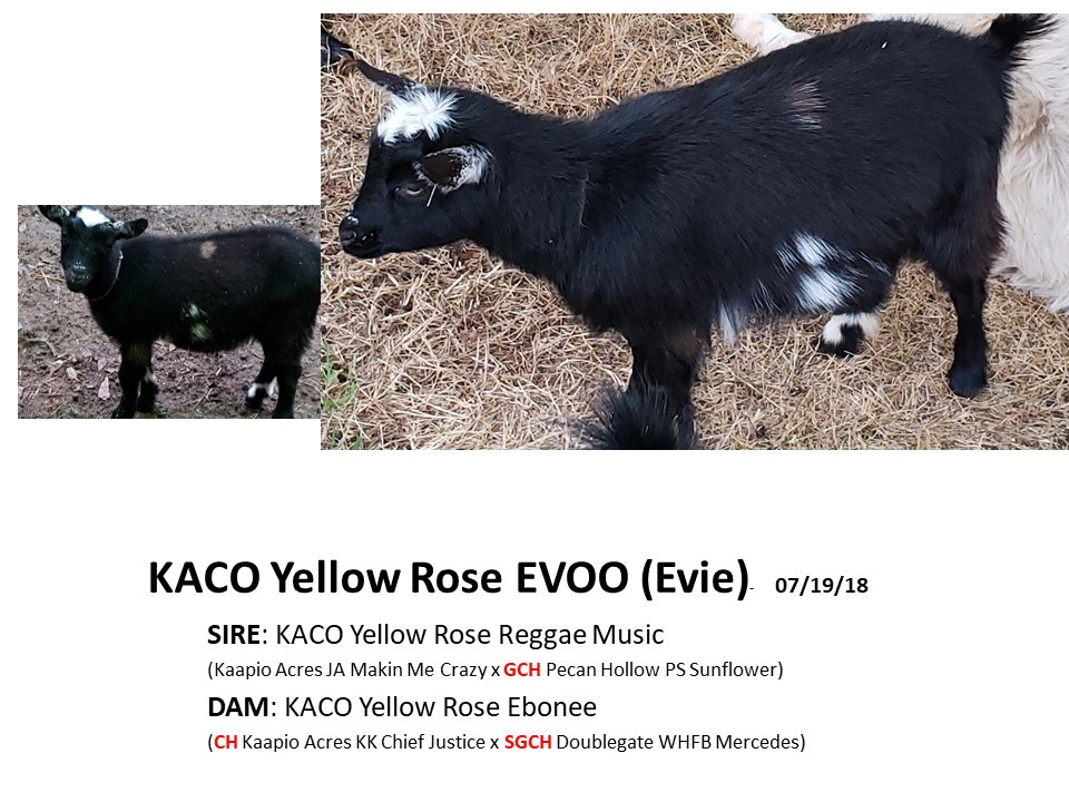 KACO Yellow Rose Evoo.jpg